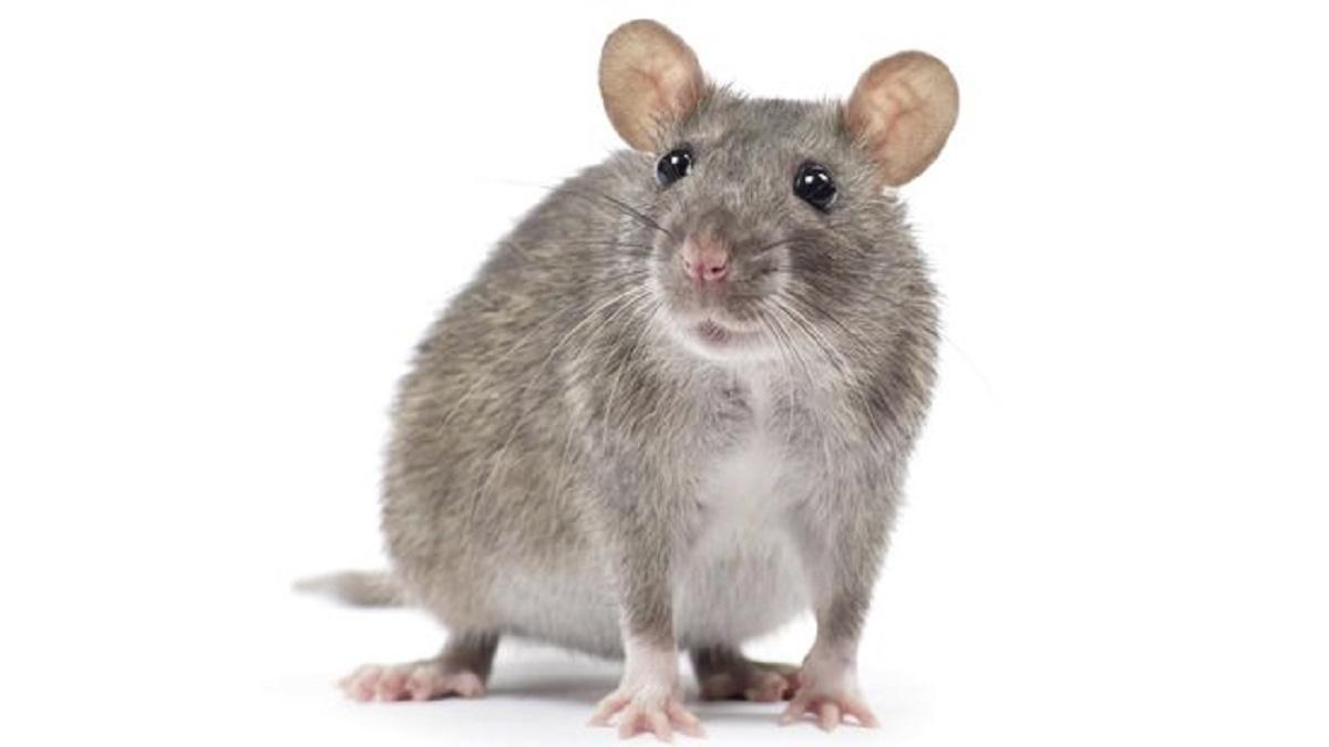 5 Cara Jitu Kendalikan Hama Tikus Pada Tanaman Jagung