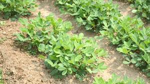 Kenali Hama Pada Kacang Tanah dan Cara Pengendaliannya